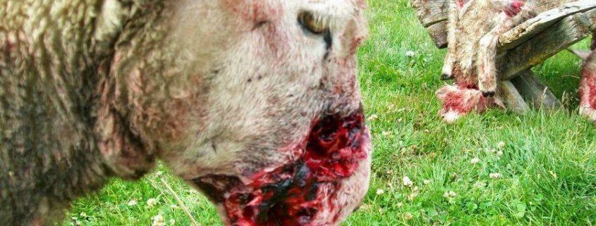 corderos-perros-asilvestrados