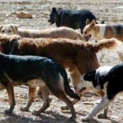 perros-asilvestrados-web
